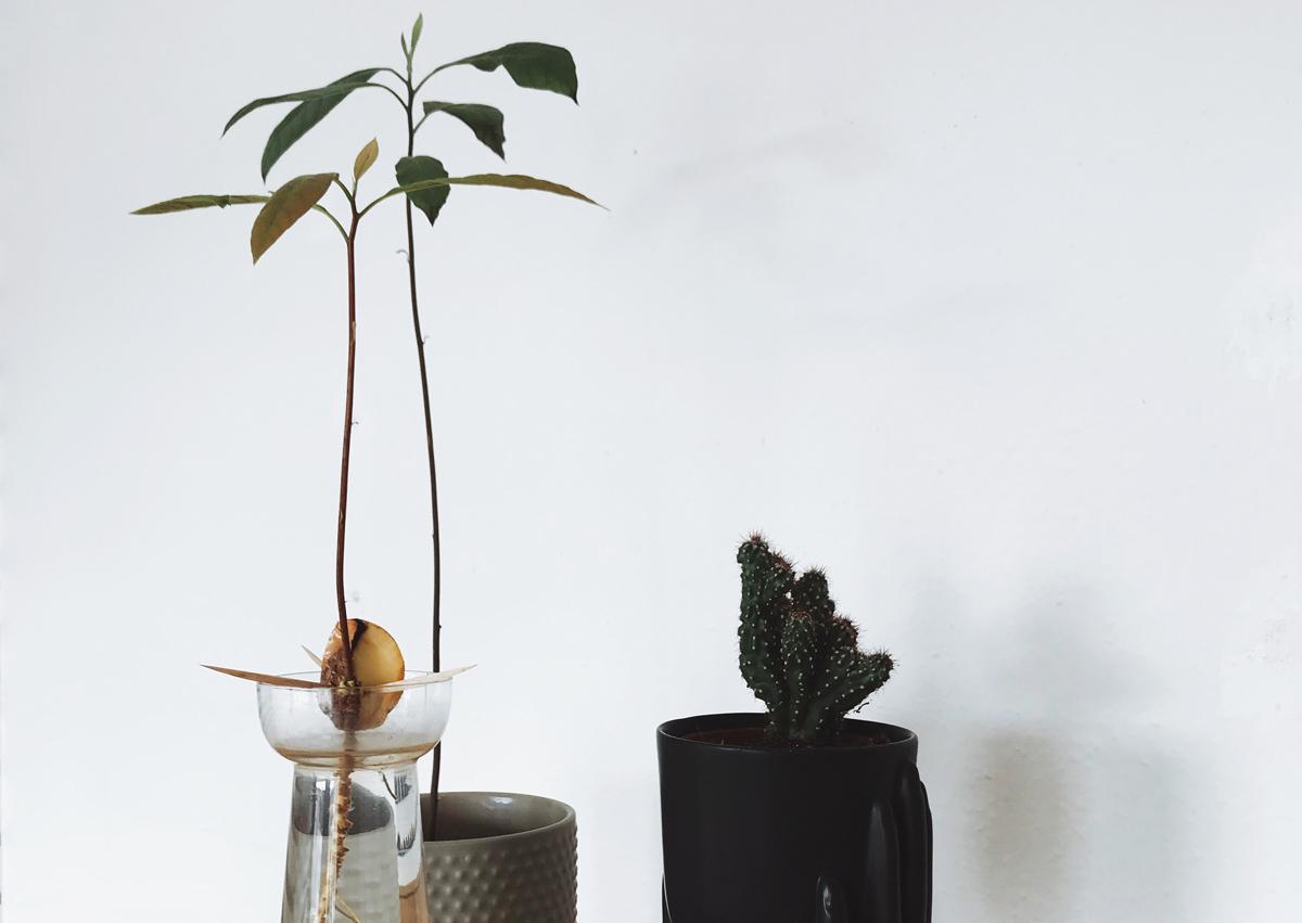between mondays 14 avocado selber ziehen so gehts smag. Black Bedroom Furniture Sets. Home Design Ideas